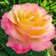 Роза чайно-гибридная Глория Дей фото