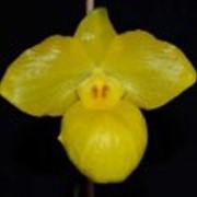 Орхидея Paphiopedilum Armeniacum Орхидея Paphiopedilum фото