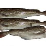 Рыба треска б/г фото