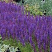 """Шалфей дубравный (Salvia nemorosa) """"Mainacht"""" фото"""