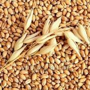 Пшеница урожай 2016 фото