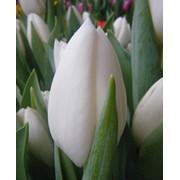 Тюльпан сорт Альбатрос фото
