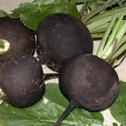 Семена редьки Чернавка фото