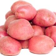 Картофель красный фото