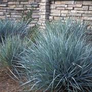 Элимус магеланский (Elymus magellanicus) фото