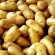 Продаем среднеранний картофель голландских сортов фото