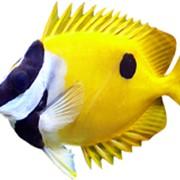 Рыба Лиса Siganus Lo vulpinus фото