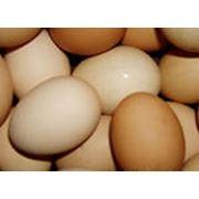 Яйца куриные инкубационные фото