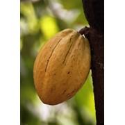 Какао нерафинированное жирное масло фото