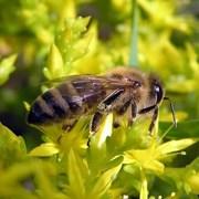 Пакеты пчел серой горной породы двух видов фото