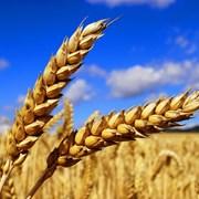 Пшениця (фуражна і продовольча) фото