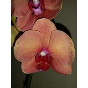 Фаленопсис Орхидея СУРФ СОНГ 2 цв фото