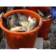 Караси Толстолоб Белый амур Сом Сазан (Вес от 05 кг до 10 кг) фото