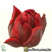Тюльпан Red Princess фото