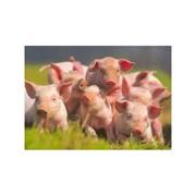 Премиксы для откорма свиней фото