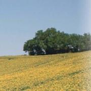 Соняшник (імпорт) 1 п.о Sanluca Rm фото
