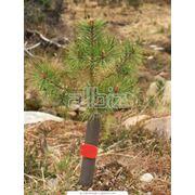 Саженцы деревьев фото
