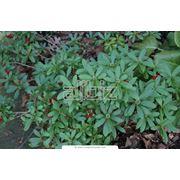 Растения декоративные фото