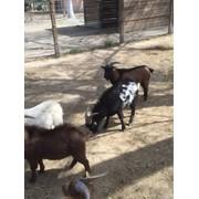 Лама, пони, камерунские карликовые козлики фото