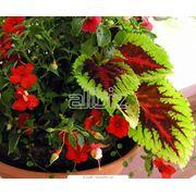Растения горшечные - широкий выбор фото