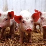Свинофермы из металлоконструкций фото