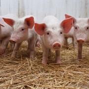 Полнорационный комбикорм для выращивания свиней на фермерских хозяйствах СУПОРОСНІ свиноматки Для кормления свиноматок холостых и 1-го периода супоросности. (гранула) фото