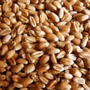 Feed wheat for sale from Moldova, Grâu de nutreț, Пшеница фуражная на экспорт фото