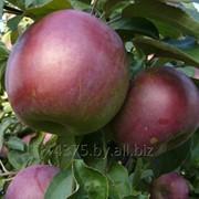 """Сорт яблок """"Джонаголд"""" фото"""