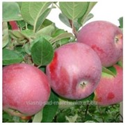 Яблоня сорт Спартан. фото