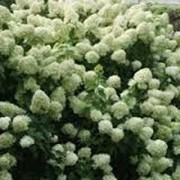 Гортензия Hydrangea asperasubsp.sargentiana 30 – 40 фото