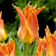 Тюльпан Александра фото
