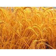 Твердая пшеница фото