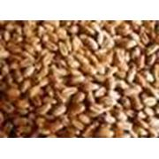 Зерна саго фото