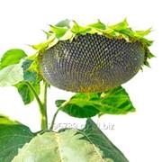 Семена подсолнечника МС Сирена фото