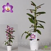 Орхидея Дендробиум нобиле Star Class Akatsuk -- Dendrobium nobi. Star Class Akatsuk фото