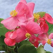 Бегония вечноцветущая (махровая) (Begonia semperflorens F1 ) семена фото