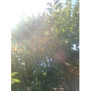Обрезка плодовых деревьев Ирпень фото