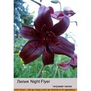 Тигровая лилия Night Flyer фото