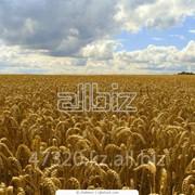 Пшеница озимая, на экспорт, фураж, фуражная пшеница, Казахстан, gitybwf фото