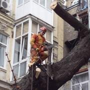 Кронирование деревьев. Санитарная обрезка деревьев. фото