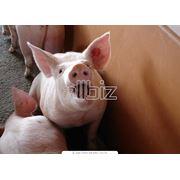 Вакцины для профилактики болезней свиней фото