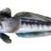 Ледяная рыба фото