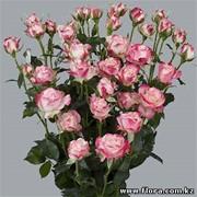 Роза кустарниковая Jessica фото