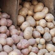Картофель посевной Атлант 1репродукция фото