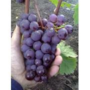 Виноградные саженцы позднего сорта фото