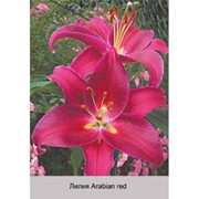 Лилия Восточный гибрид Arabian Red фото