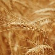 Уборка зерновых культур фото