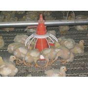 Напольное кормление птицы фото