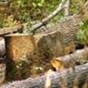 Уничтожение деревьев фото