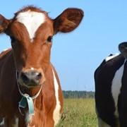 Заменитель цельного молока с 20-25 дня фото